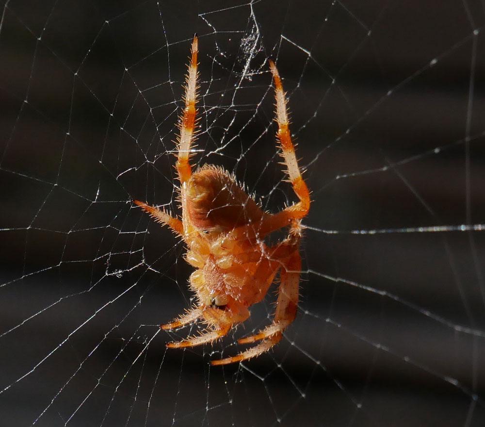 Araignée du matin Araign10