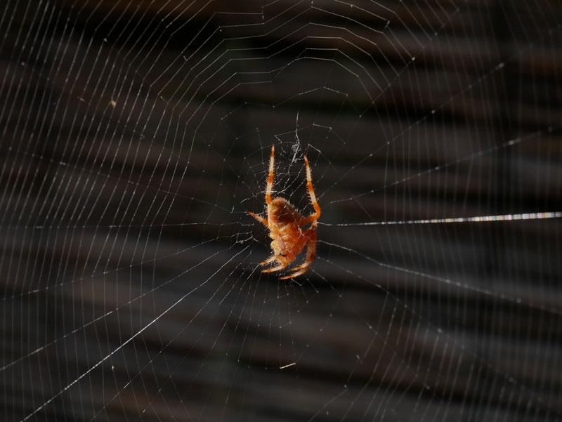 Araignée du matin P1020210
