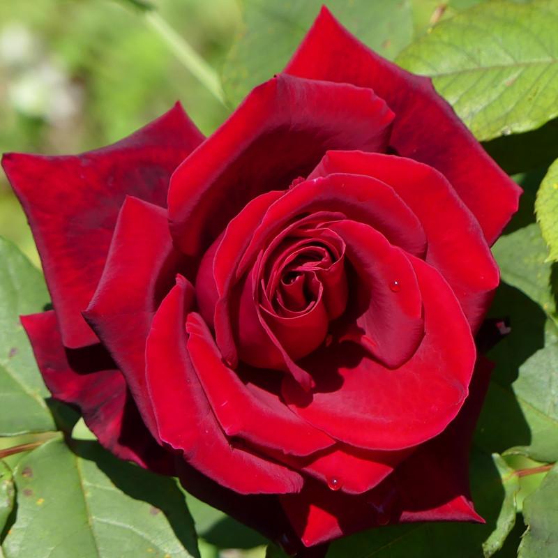 Soyeuses Rose110