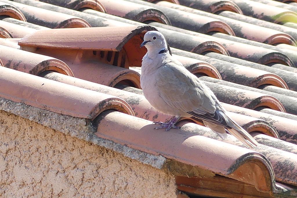 La tourterelle sur un toit brulant. Tourte10