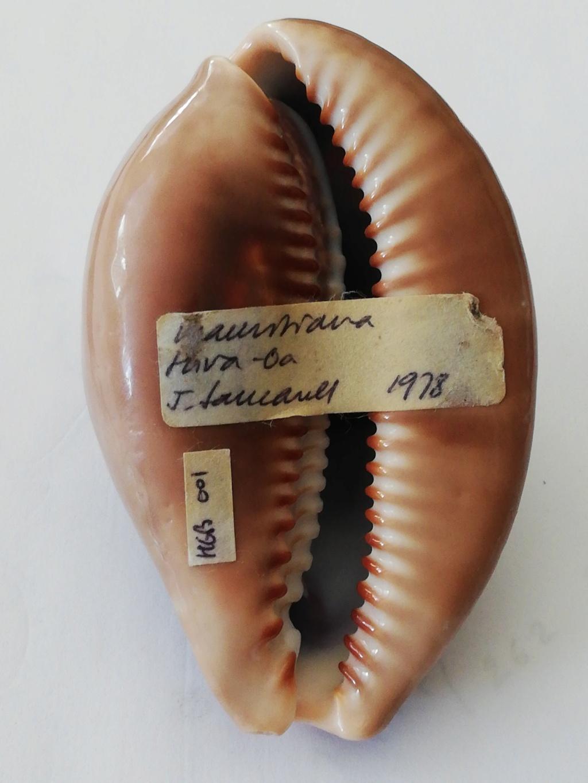 Mauritia mauritiana - (Linnaeus, 1758)  juvénile à sub-adulte 15985213