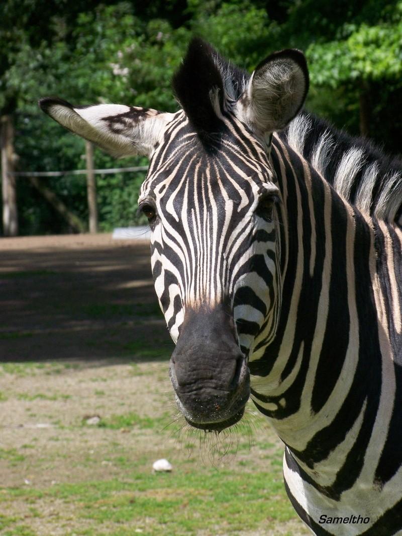 Le zebre de chapman (Equus quagga) 100_2413
