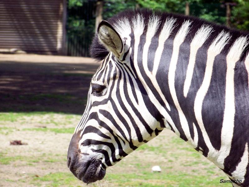 Le zebre de chapman (Equus quagga) 100_2414