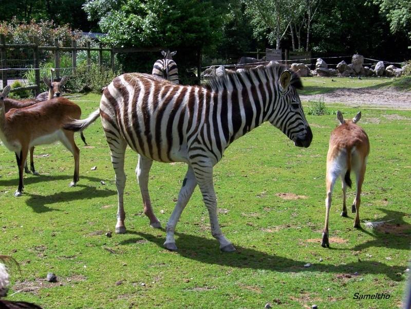 Le zebre de chapman (Equus quagga) 100_2415
