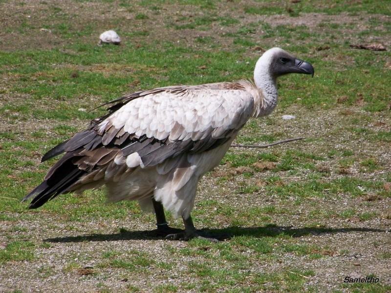 Le vautour à dos blanc (Pseudogyps africanus) 100_2416
