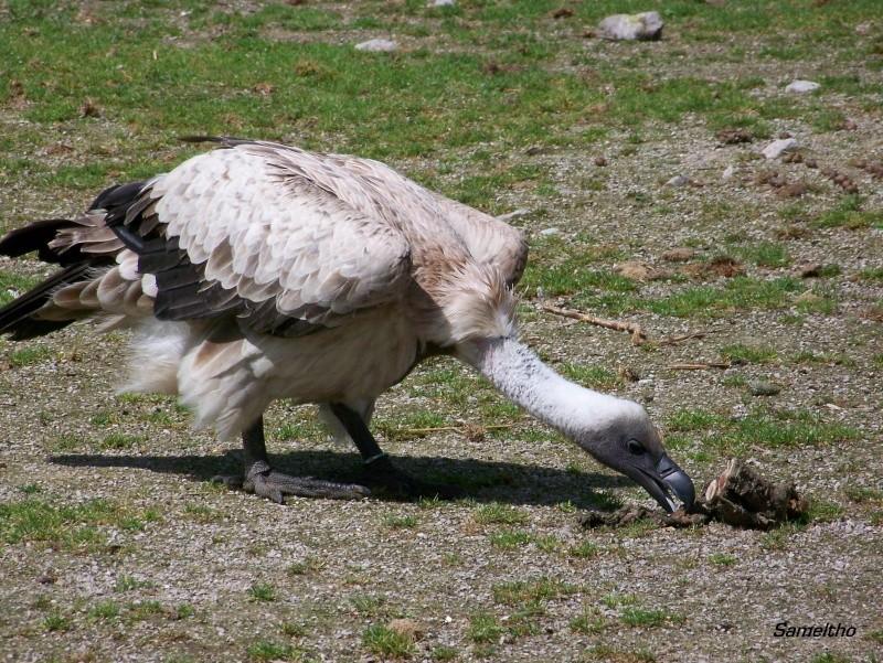 Le vautour à dos blanc (Pseudogyps africanus) 100_2418