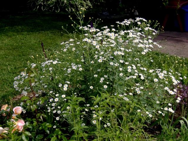 tanacetum jackpot de fleur de peau 16tana10