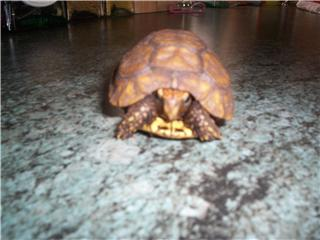 comment identifier ma tortue ? Bell110