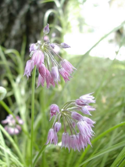 Allium farreri Dscn6812