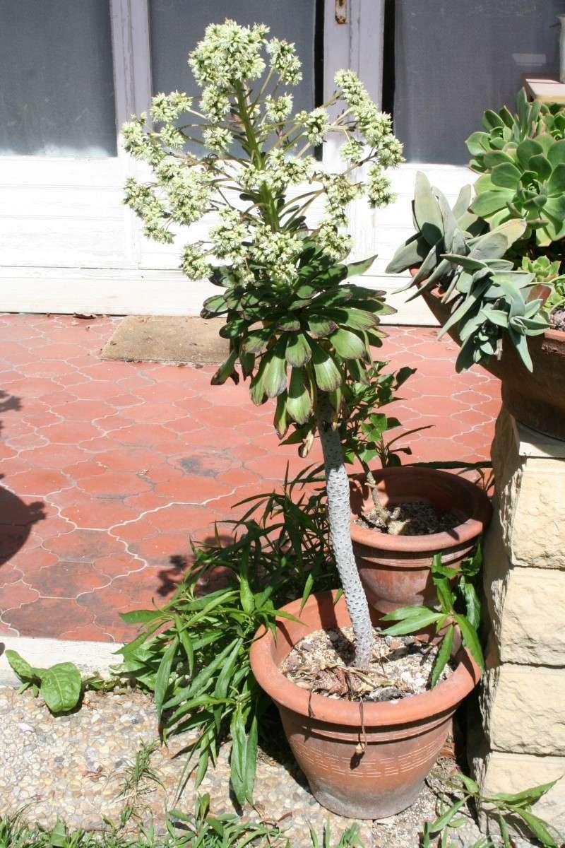 Aeonium arboreum v holochryum Aeoniu15