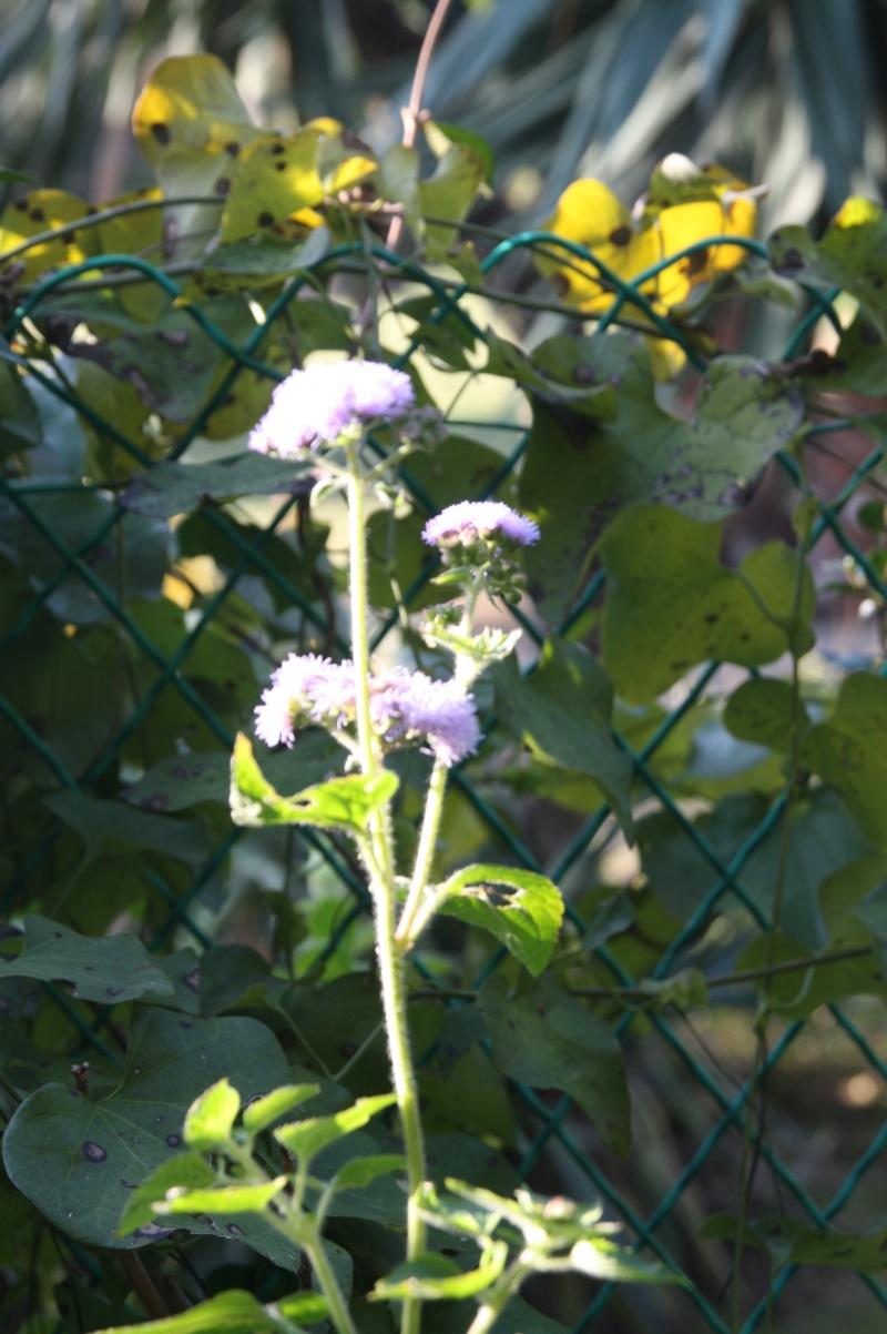 En attendant l'hiver, quelques fleurs de ce matin de janvier 2013 Agerat10
