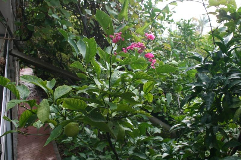 Bignone rose = Podraena ricasoliana encore en fleurs Antigo10