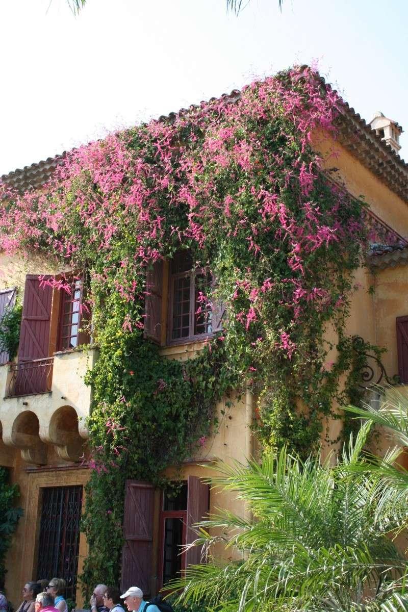 Bignone rose = Podraena ricasoliana encore en fleurs Antigo11