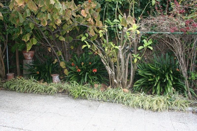 Mais qui est elle... [ Chlorophytum comosum variegatum ] - Page 2 Clivia11