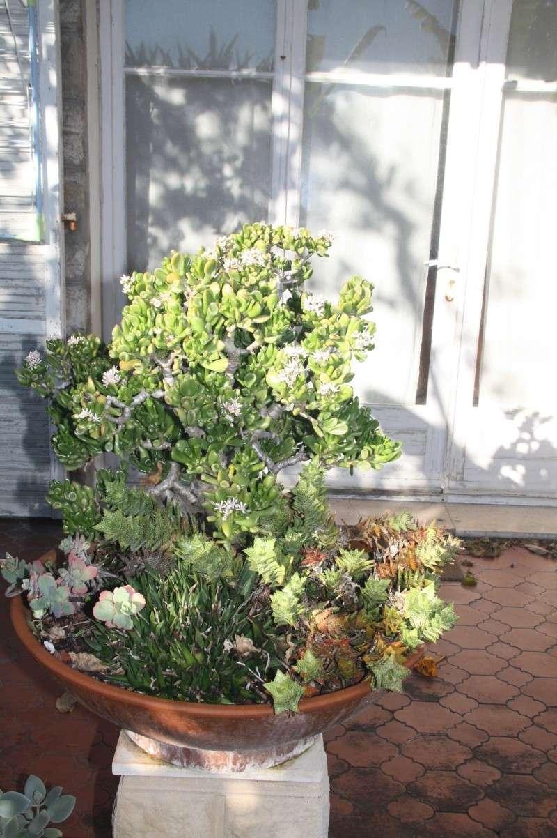 Crassula ' Gollum ' en fleurs Crassu13