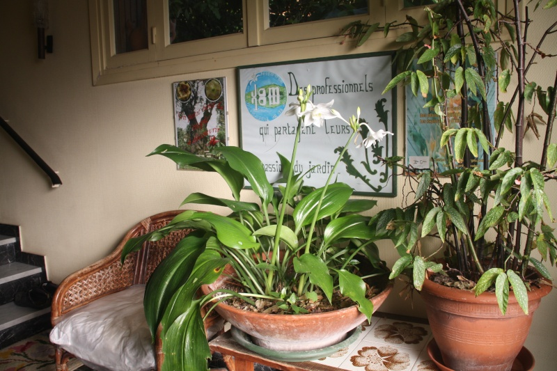 Eucharis grandiflora , mon lis de Noel Euchar10