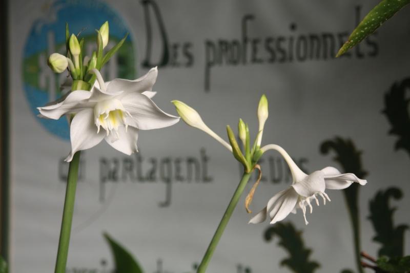 Eucharis grandiflora , mon lis de Noel Euchar11