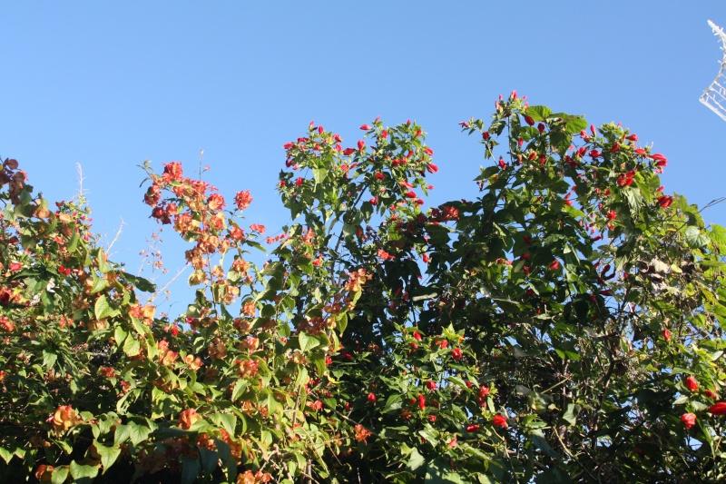 En attendant l'hiver, quelques fleurs de ce matin de janvier 2013 Holmsk10