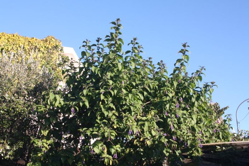 Iochroma grandiflora, le top du bleu hivernal Iochro11