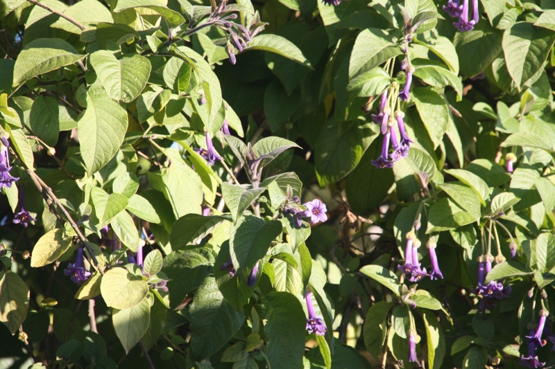 Iochroma grandiflora, le top du bleu hivernal Iochro12