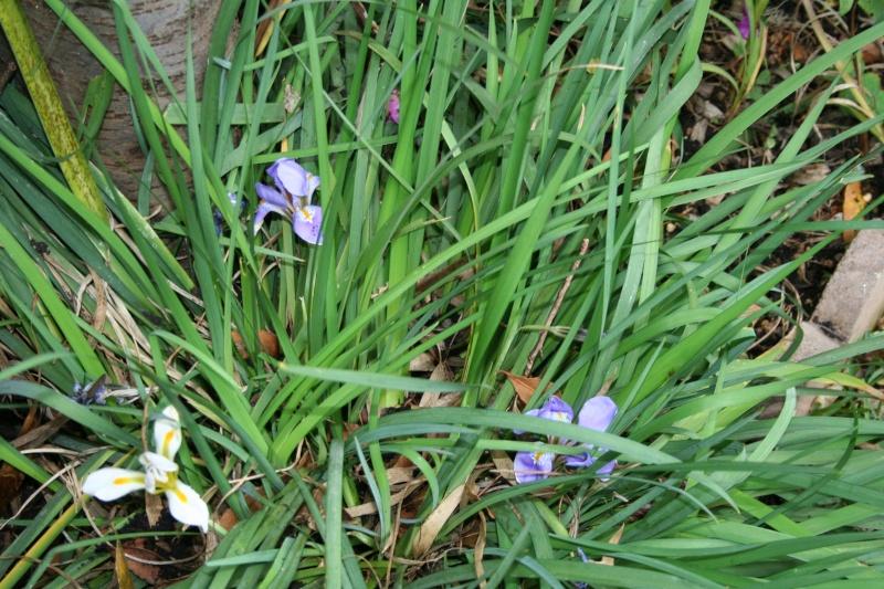 en fleur Iris_u11