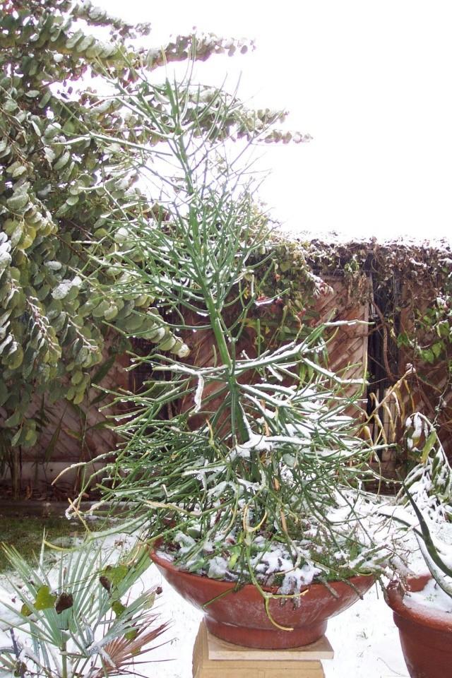 un nom pour cette plante s.v.p [Euphorbia tirucalli] Neige_10