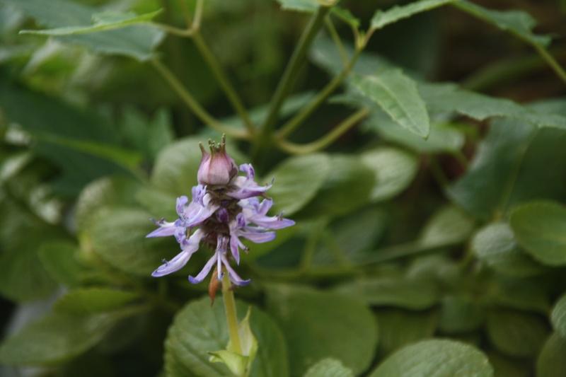 En attendant l'hiver, quelques fleurs de ce matin de janvier 2013 Plectr10
