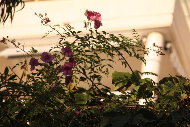 Bignone rose = Podraena ricasoliana encore en fleurs - Page 2 Podrae10