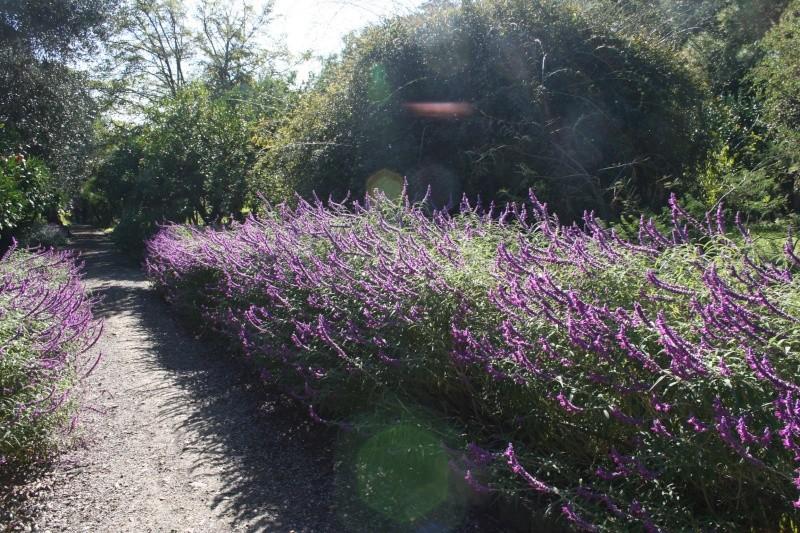 salvia leucantha Salvia10