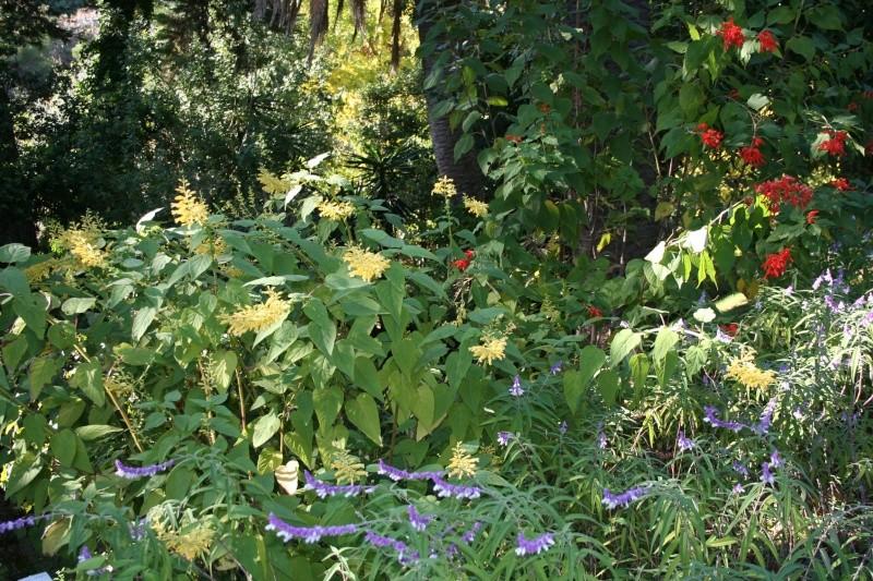 un nom pour cette bouture de sauge [Salvia sessei...] Salvia13