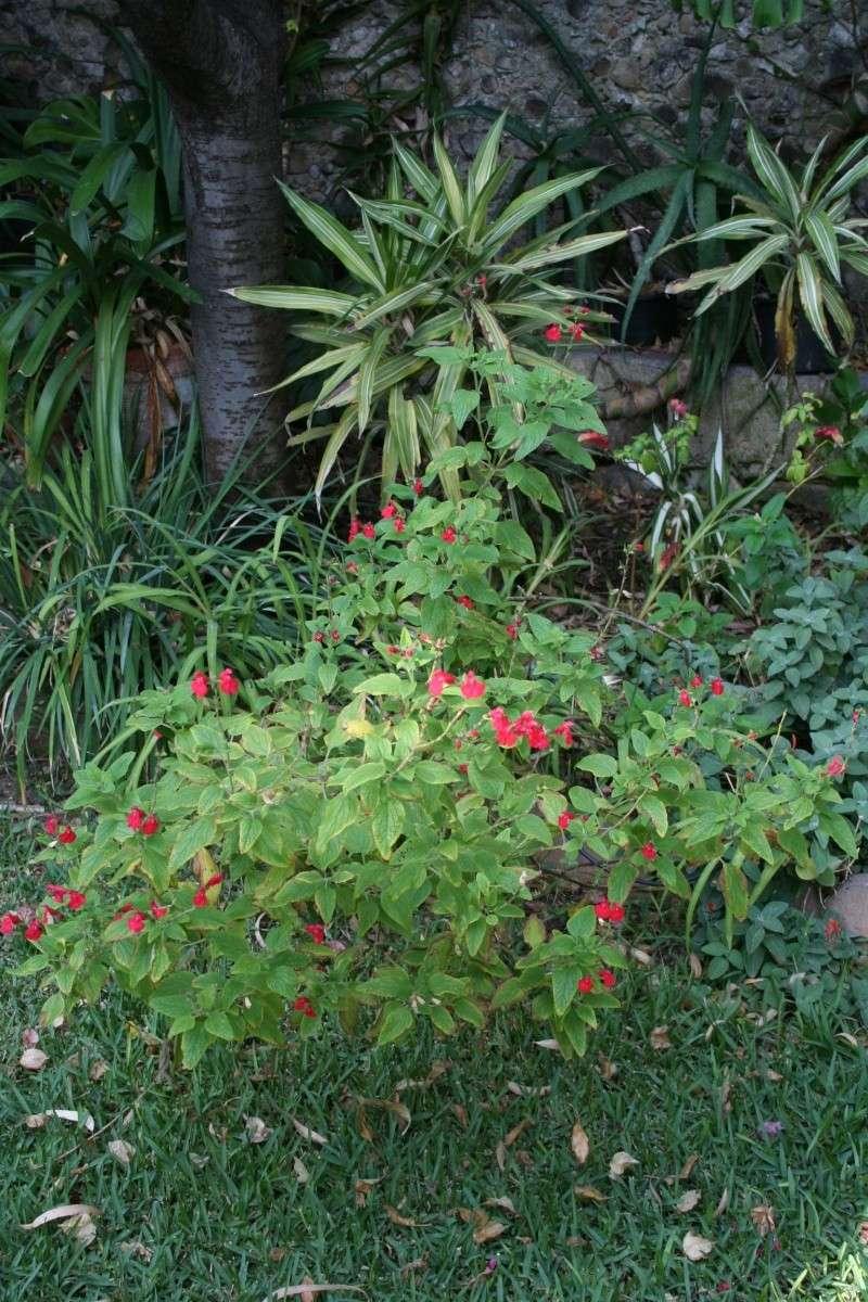 quelques salvia microphylla Salvia15