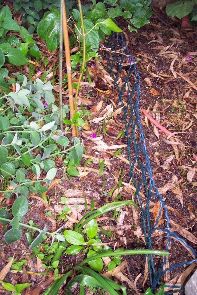 Gazon ? non, semis spontanés de Washingtonia robusta Semis_10