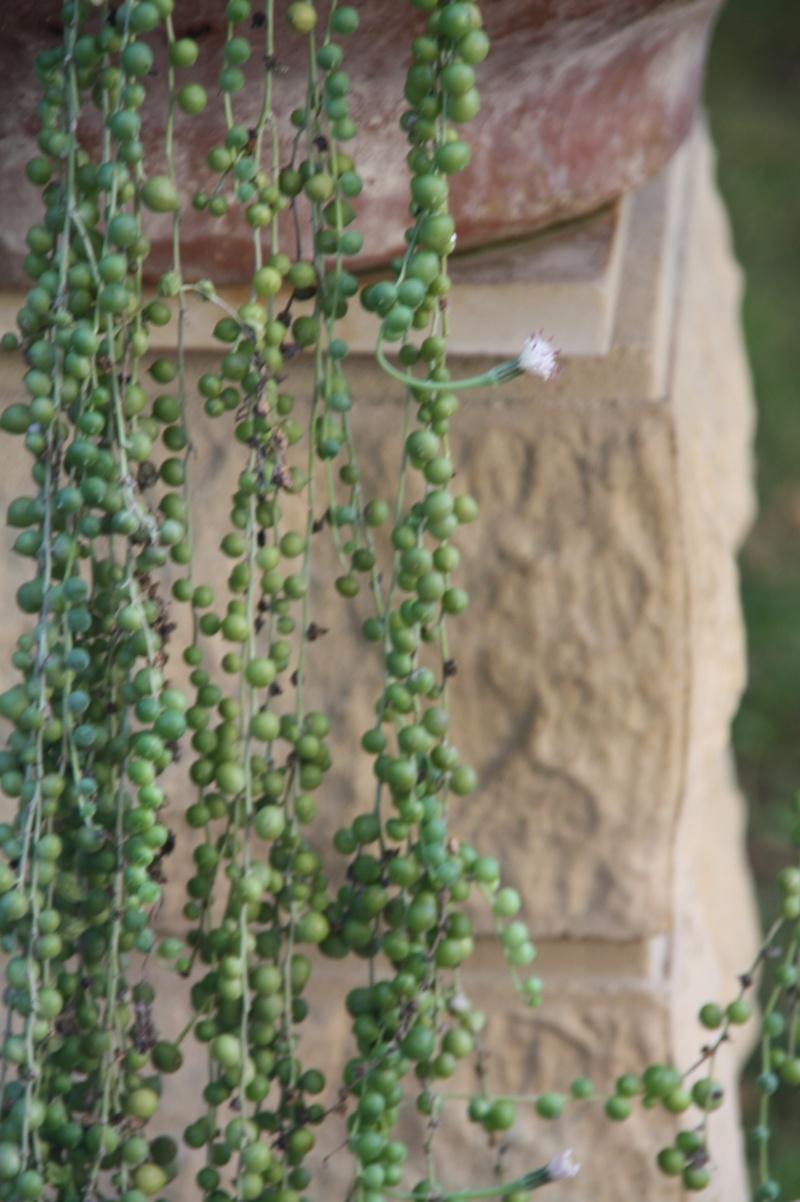 Senecio rowleyanus dans sa période de floraison Seneci13