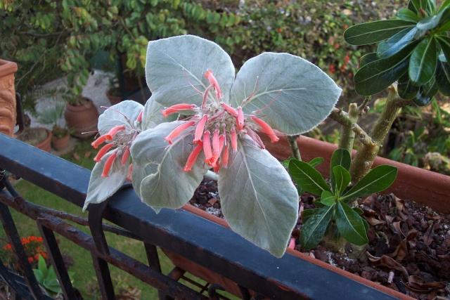 rechsteineria leucotricha et Stapelia : quels soins ? Sinnin10