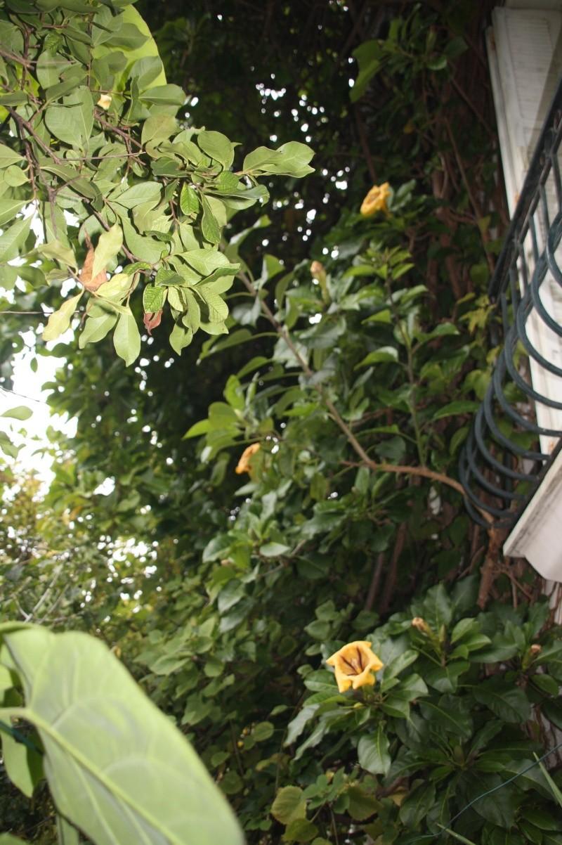 Mon Solandra maxima respecte  sa période de floraison Soland10