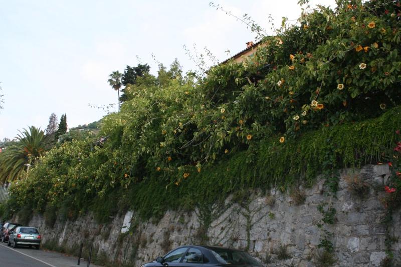Mon Solandra maxima respecte  sa période de floraison Soland12