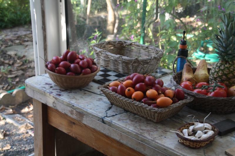 Tamarillo ( fruits du Cyphomandra betacea ) récolte problèmatique Tomati10