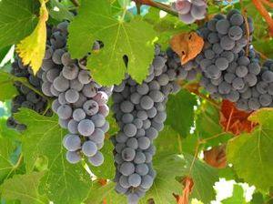 Le raisin ( les vendanges) 300px-10