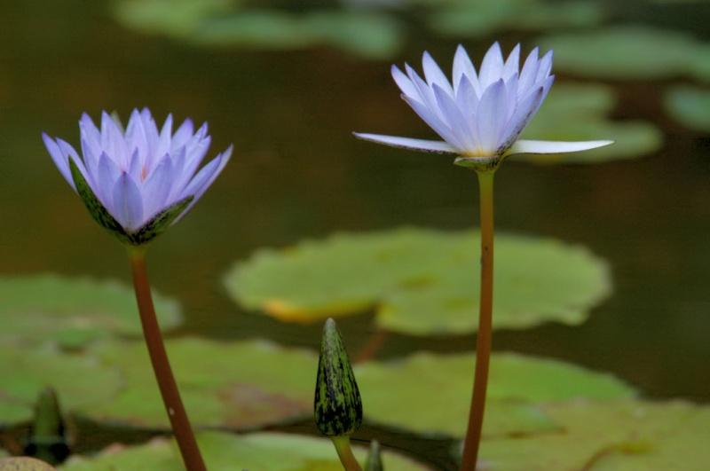 Nenuphares. Flower12