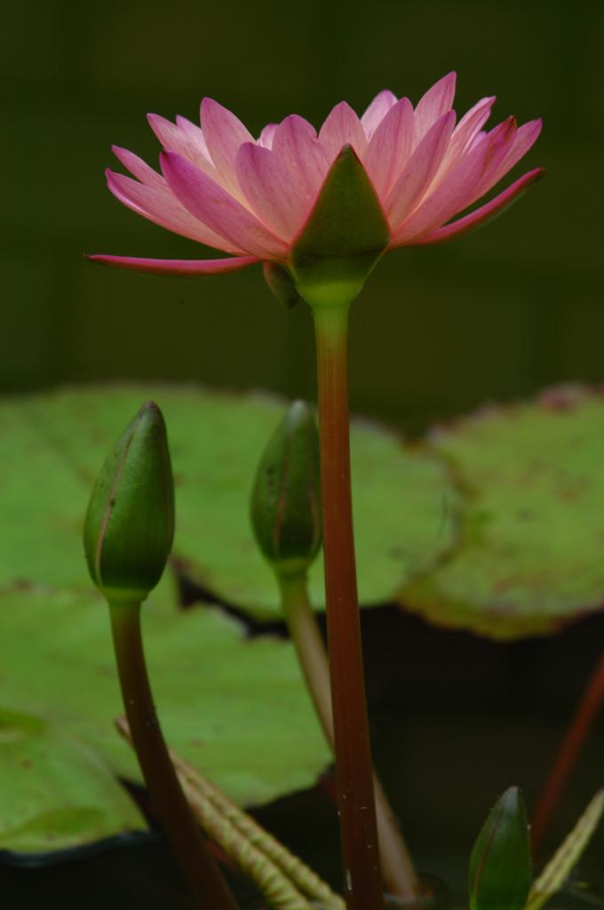 Nenuphares. Flower13