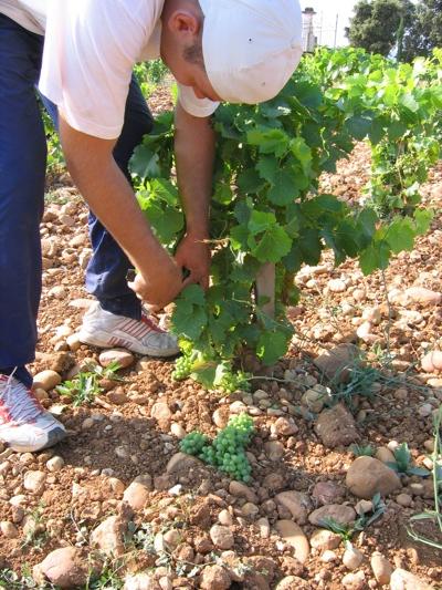 Le raisin ( les vendanges) Img_1410