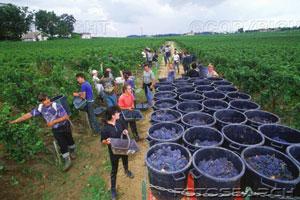 Le raisin ( les vendanges) Raccol10