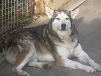 HURON - mâle husky de 11ans né en 1998 dans le (83)DECEDE Huron10
