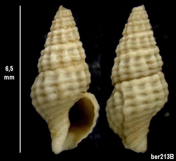 Gastéropodes du Miocène de Tourraine Ber_2111