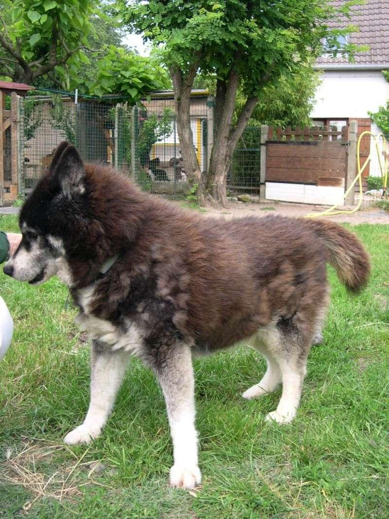 DIANE Gentille femelle malamute refuge de Beauregard Dscn1710
