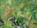 rosiers Dsc01313