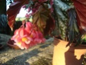 Début des floraisons Orphee10