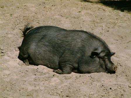 Notre cochon!!!! 21_07_10
