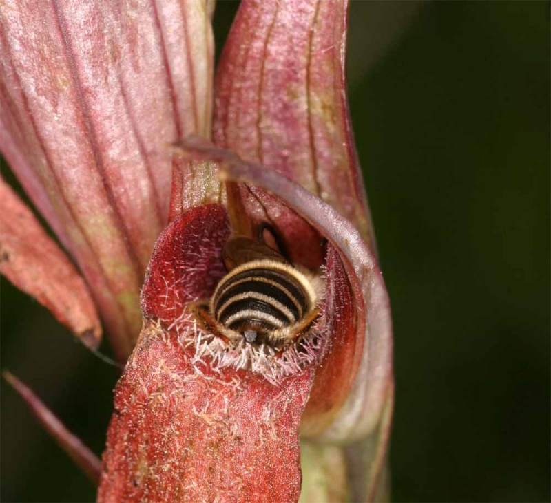 Pollinisateur de Serapias vomeracea Pol_vo10