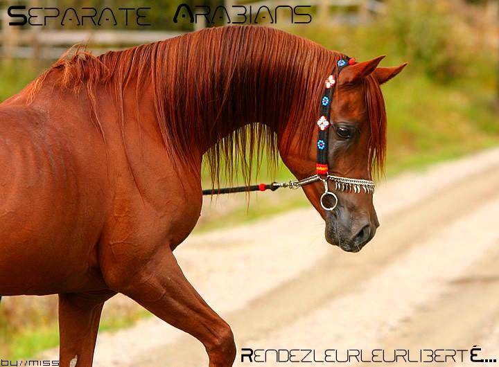 Separate Arabians